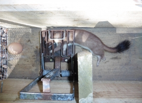Stoat in a DOC200 trap